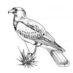 Harris hawk bird coloring page