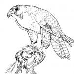 Peregrine falcon bird coloring page