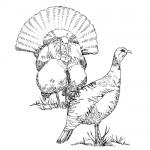 Turkey bird coloring page